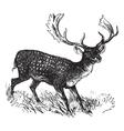 Fallow Deer vintage engraving vector image vector image