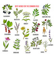 best herbs for common cold vector image vector image