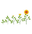sunflower plant growth stages concept vector image vector image