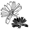 beautiful botanical with chicory flowers vector image vector image