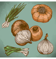 engraving lots of onions retro vector image vector image