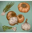 engraving lots onions retro vector image vector image