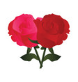 pink and red roses with green leafs on white vector image vector image