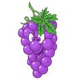 fresh grapes cartoon vector image