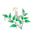 Night Blooming Jasmine on A White Background vector image vector image