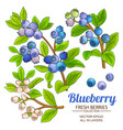 blueberry plant set on white background vector image vector image