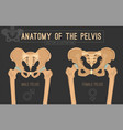 female male pelvis vector image vector image