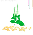 Holy Basil with Vitamin A B1 and B2 vector image