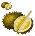 durian fruit cartoon icon isolated vector image vector image