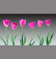 Tulips color tulips isolated on vector image