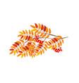 rowan branch vector image vector image