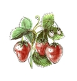 Watercolor drawing of strawberry vector image vector image