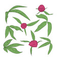 set beautiful peony leaves and buds isolated vector image vector image