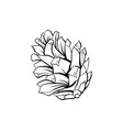 fir cone pinecone spruce line art vector image