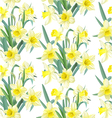 Seamless pattern lush yellow daffodils on white vector image