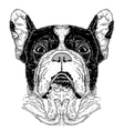 portrait of French Bulldog vector image