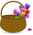 tulips in a wicker basket vector image vector image