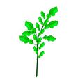 A Fresh Kaffir Lime Plant on White Background vector image vector image