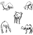Camels A sketch by hand Pencil drawing vector image
