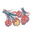 Alveoli vector image vector image