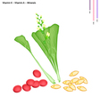 Chinese Flowering Cabbage with Vitamin K and A vector image vector image
