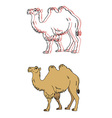image of a camel vector image