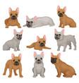 flat set of gray and brown french bulldog vector image