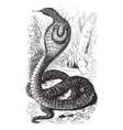 Indian Cobra vintage engraving vector image vector image