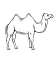 two-humped camel or bactrianus vector image