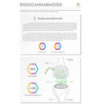 endocannabinoids vertical business infographic vector image vector image