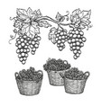 grape branches and grapes in baskets vector image vector image