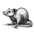 engraving rat vector image vector image