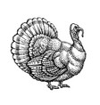 turkey turkeycock hand drawn sketch vintage vector image vector image