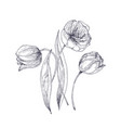 beautiful tulip flowers hand drawn with contour vector image