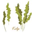 seaweed kelp or laminaria green food algae