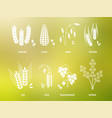 white cereal grains icons rice wheat corn oats vector image vector image