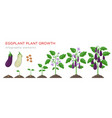eggplant growing process from seed to ripe vector image vector image
