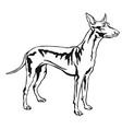 decorative standing portrait of pharaoh hound vector image vector image