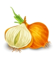 Onion isolated on white vector image