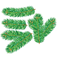 Branch of spruce vector image vector image