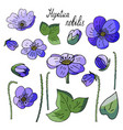 set of isolated elements of spring flowers hepatic vector image