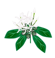 White Rubiaceae Flower or White Ixora Flower vector image vector image