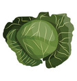 green cabbage of vegetables on white background vector image