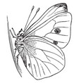 imago butterfly vintage vector image vector image