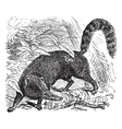 Coati Vintage engraving vector image vector image