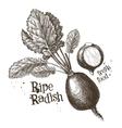 radishes radish logo design template vector image