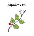 squaw vine mitchella repens or partridge berry vector image