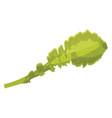 light green lettuce leaf of vegetables on white vector image