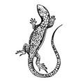 lizard engraving vector image