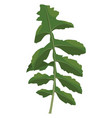 green ruccola leaf of vegetables on white vector image vector image